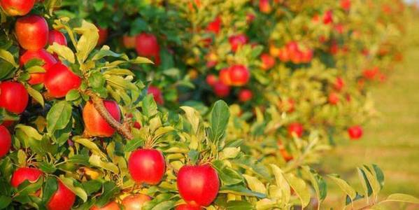 """Apple Cluster"" to appear in Vinnytsya Oblast"